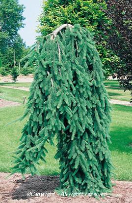 Picea Abies Inversa Pendula Arcangeli Gino Vivai Azienda