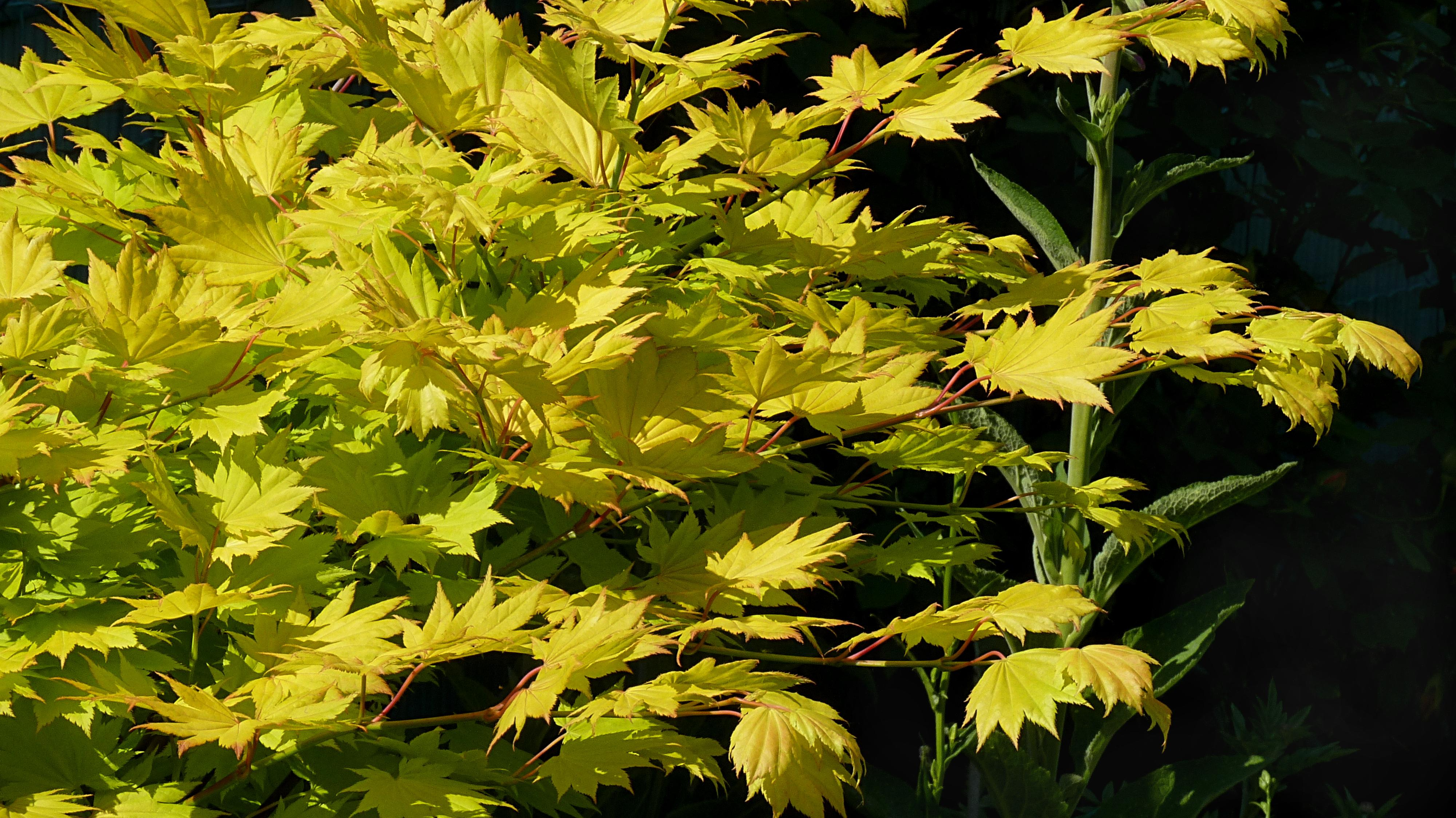 Acer Japonicum Aureum Shirasawanum Aureum Arcangeli Gino
