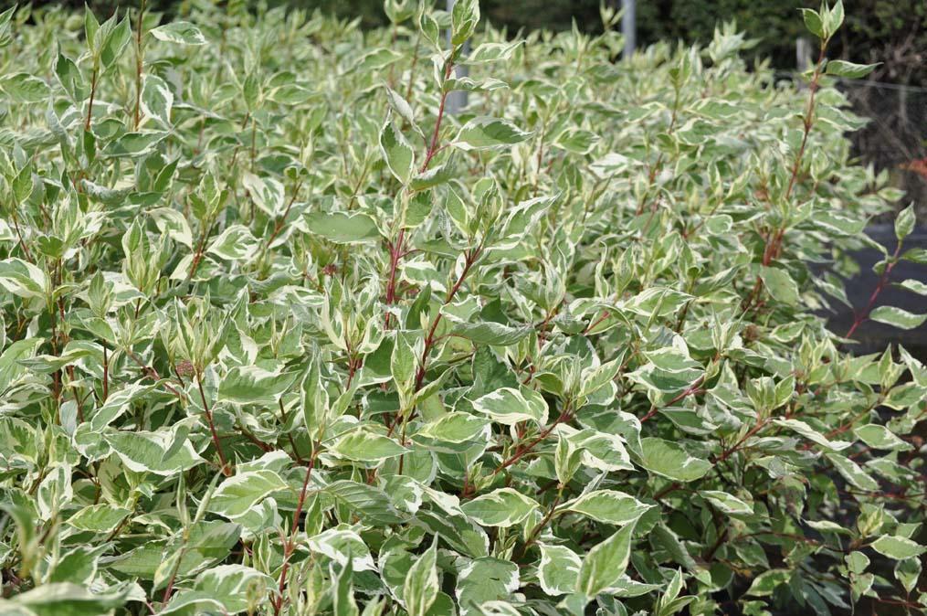 cornus alba 39 elegantissima 39 39 argentea 39 arcangeli gino. Black Bedroom Furniture Sets. Home Design Ideas